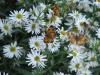 ButterfliesonBoltonia.jpg