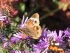 Butterflyonaster.jpg
