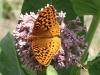 Butterflyonmilkweed.jpg