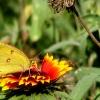 sulphurbutterflyongaillardia.jpg