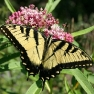yellowswallowtail.jpg
