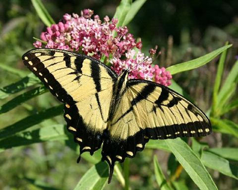 yellowswallowtail.jpg